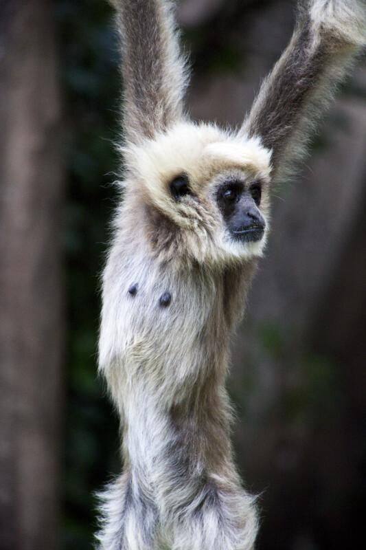 Juvenile White-Handed Gibbon