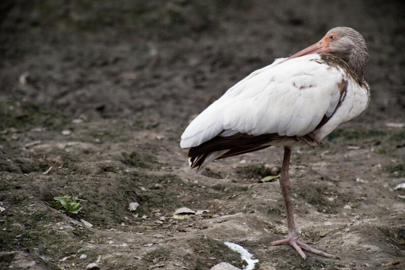 Juvenile White Ibis at Rest