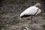 Juvenile White Ibis at Rest
