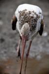 Juvenile White Ibis Foraging