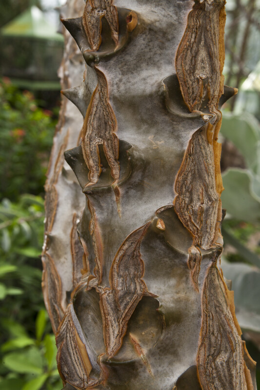 Kalanchoe Beharensis Trunk