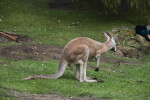 Kangaroo at San Francisco Zoo