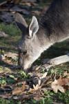 Kangaroo Smelling