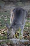 Kangaroo Sniffing