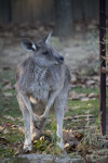 Kangaroo Standing