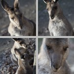 Kangaroos photographs