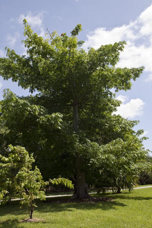 Imagespace Kapok Tree Leaves Gmispace Com