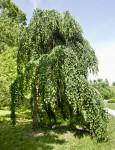 "Katsura ""Morioka Weeping"" Tree"