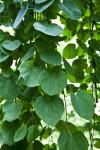 """Katsura """"Morioka Weeping"""" Veined Leaves"""