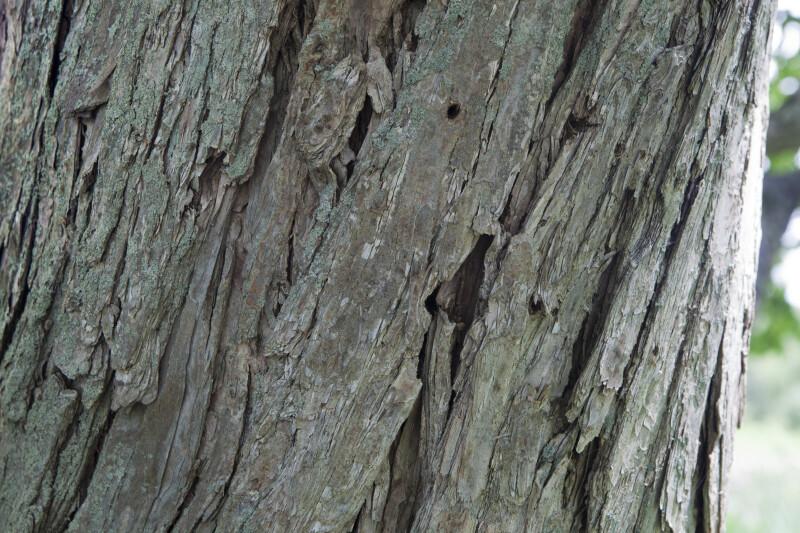 Katsura Tree Bark Detail
