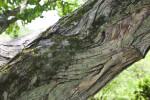 Katsura Tree Bark