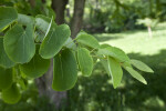 Katsura Tree Leaves on Branch