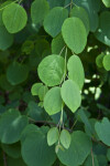 Katsura Tree Opposite Leaves