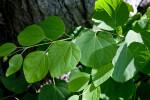 Katsura Tree Ovate Leaves