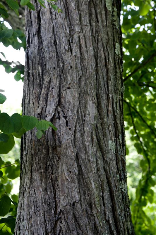 Katsura Tree Trunk
