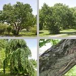 Katsura Trees photographs