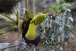 Keel-Billed Toucan and Leaves