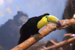 Keel-Billed Toucan on Branch