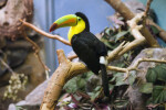 Keel Billed Toucan Perched