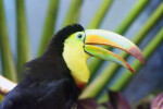 Keel-Billed Toucan with Bill Open