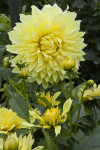 """Kelvin's Floodlight"" Hybrid Dahlia"