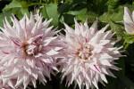"""Kenora Challenger"" Flowers"