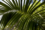 Kentia Palm Frond