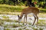 Key Deer Back Hind Quarter