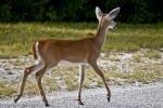 Key Deer Back Right Side