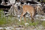 Key Deer Eating Grass