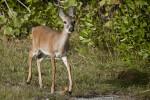 Key Deer Front View