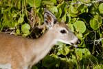 Key Deer Head