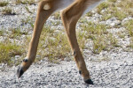 Key Deer Hind Legs