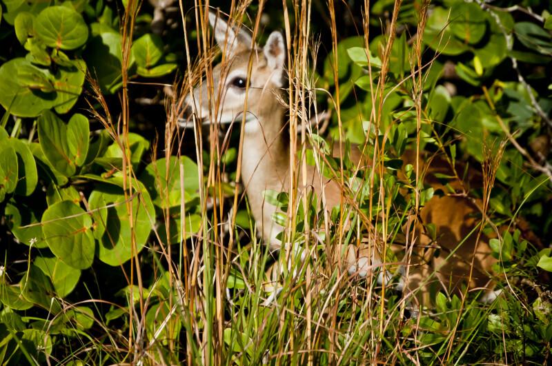 Key Deer in Tall Grass