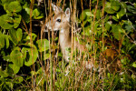 Key Deer in Tall Grass