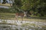 Key Deer with Head Turned