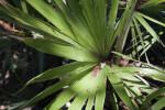 Key Thatch Palm Leaves