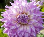 """Kidd's Climax"" Dahlia Flower"