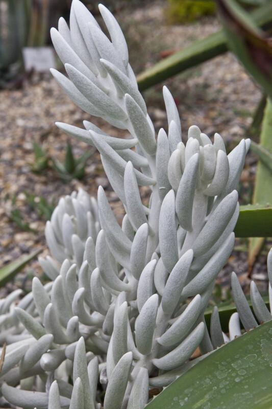 Kleinia haworthii