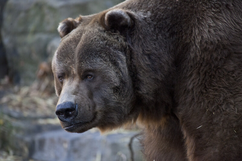 Kodiak Bear Close-Up