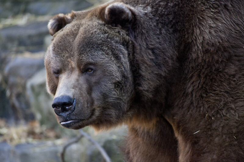 Kodiak Close-Up
