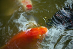 Koi and Turtle Competing