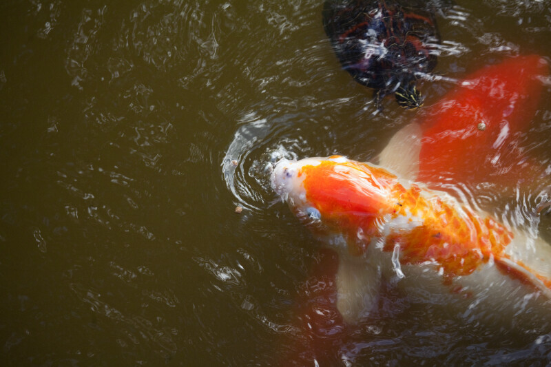 Koi and Turtle