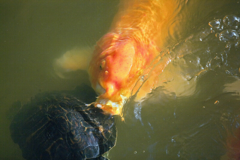 Koi Eating Near Turtle