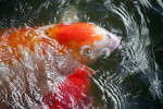 Koi Feeding at the Surface