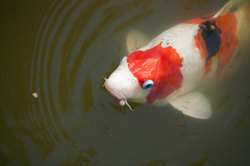 Koi Feeding near the Surface