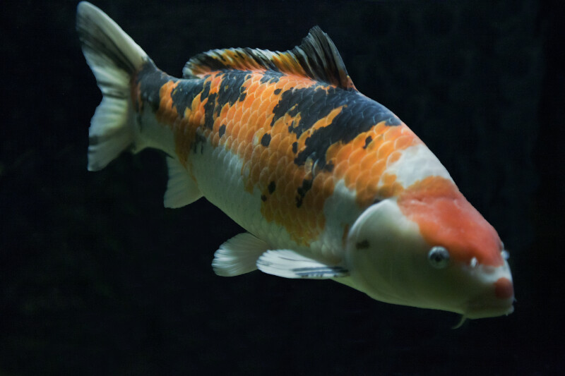 Koi Fish in Tank