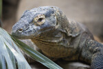 Komodo Dragon Close-Up