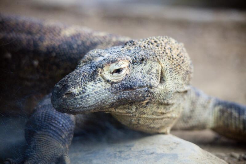 Komodo Dragon Detail