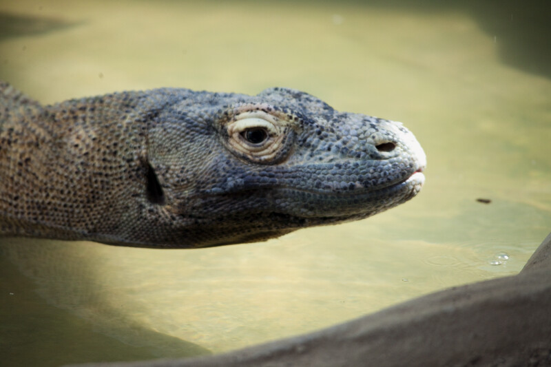 Komodo Dragon Head